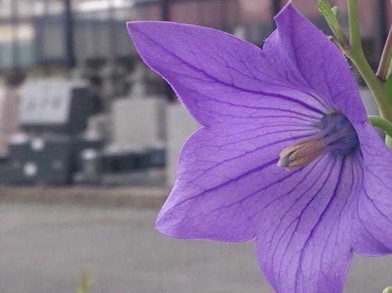 2015年7月 桔梗の花 白 紫 墓石DSC_0202
