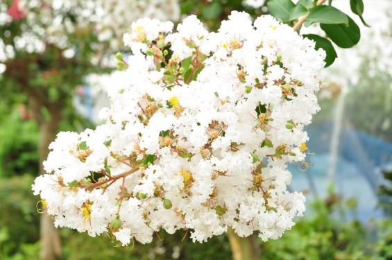 埼玉県蓮田市 星久院の白いさるすべりDSC_3143