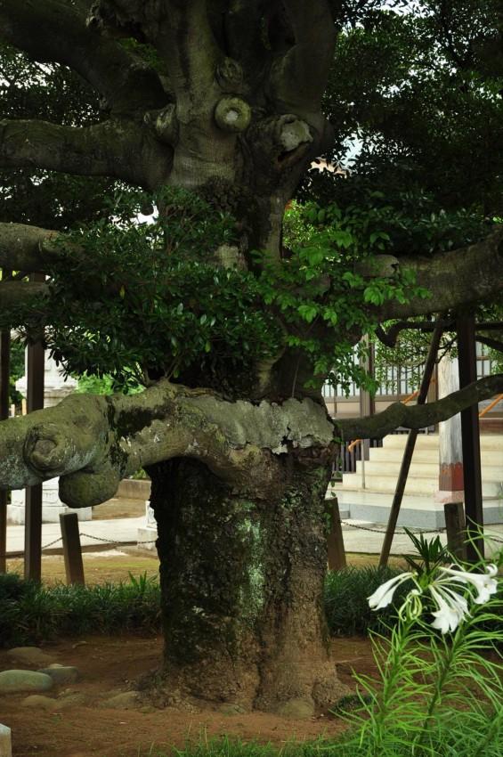 2015年 上尾市 馬蹄寺のモクコク 埼玉県指定天然記念物DSC_3361