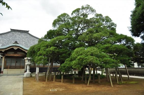 2015年 上尾市 馬蹄寺のモクコク 埼玉県指定天然記念物DSC_3337