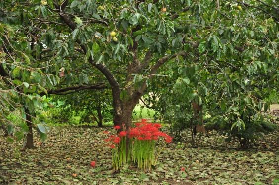 2015年9月17日 彼岸花 ヒガンバナ 曼珠沙華 成長過程 育成の様子 芽 花 埼玉県伊奈町 法光寺DSC_3752