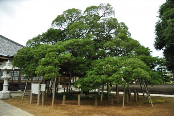 2015年 上尾市 馬蹄寺のモクコク 埼玉県指定天然記念物DSC_3338