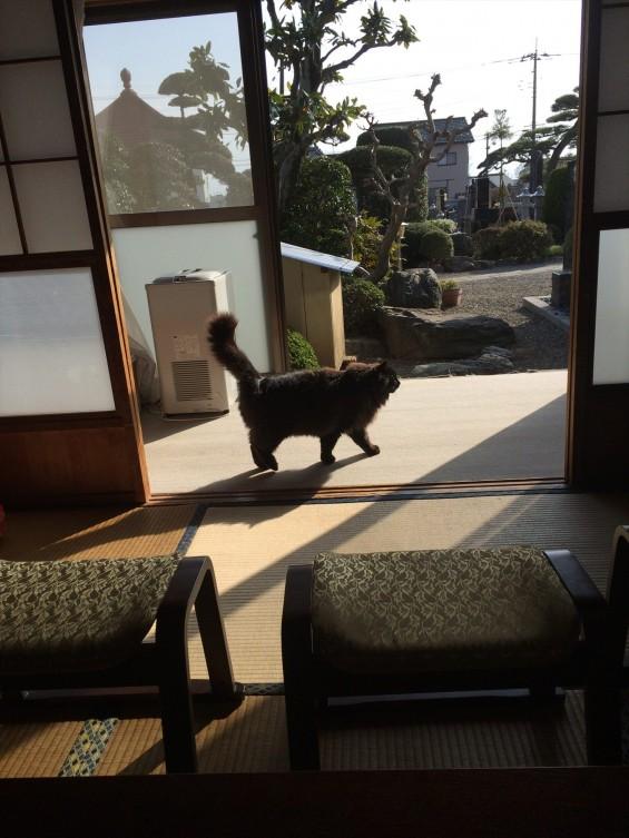 2015年9月 久喜清久霊園開園 東明寺の猫の鈴ちゃん写真 2015-03-21 15 35 49
