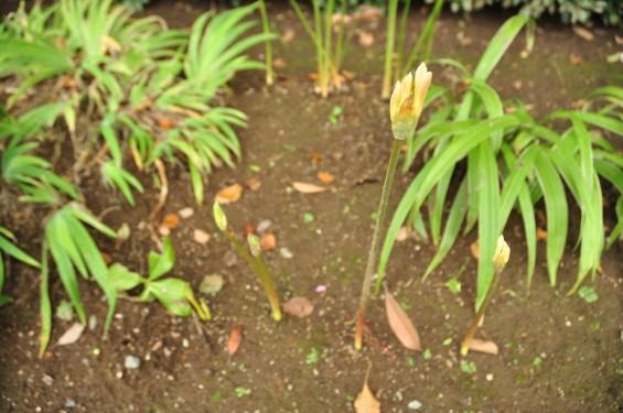 2015年9月17日 彼岸花 ヒガンバナ 曼珠沙華 成長過程 育成の様子 芽 花 埼玉県伊奈町 法光寺DSC_3702