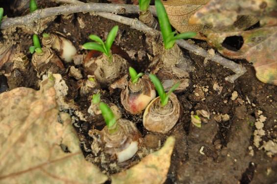 2015年9月17日 彼岸花 ヒガンバナ 曼珠沙華 成長過程 育成の様子 芽 花 埼玉県伊奈町 法光寺DSC_3745