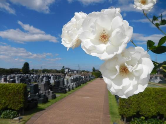 2015年10月 埼玉県行田市 さきたま霊園 墓域 植栽 白いバラ 薔薇 お墓 墓石DSCN7188