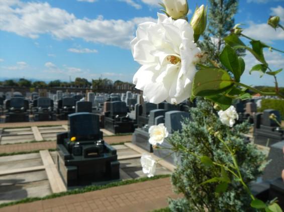 2015年10月 埼玉県行田市 さきたま霊園 墓域 植栽 白いバラ 薔薇 お墓 墓石DSCN7185