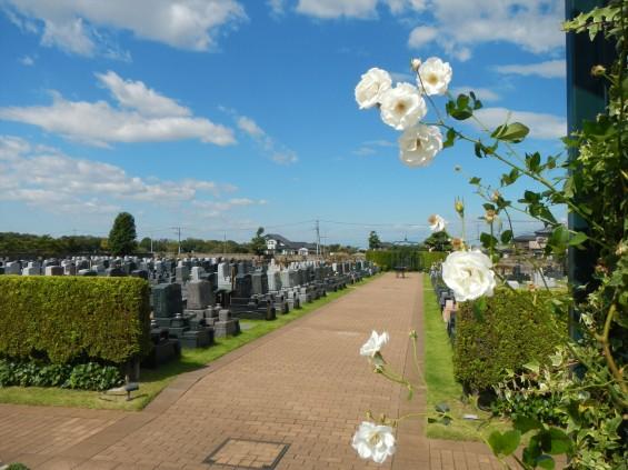 2015年10月 埼玉県行田市 さきたま霊園 墓域 植栽 白いバラ 薔薇 お墓 墓石DSCN7186