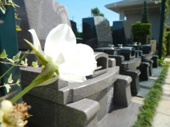 2015年10月 埼玉県行田市 さきたま霊園 墓域 植栽 白いバラ 薔薇 お墓 墓石DSCN7192