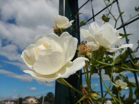 2015年10月 埼玉県行田市 さきたま霊園 墓域 植栽 白いバラ 薔薇 お墓 墓石DSCN7184