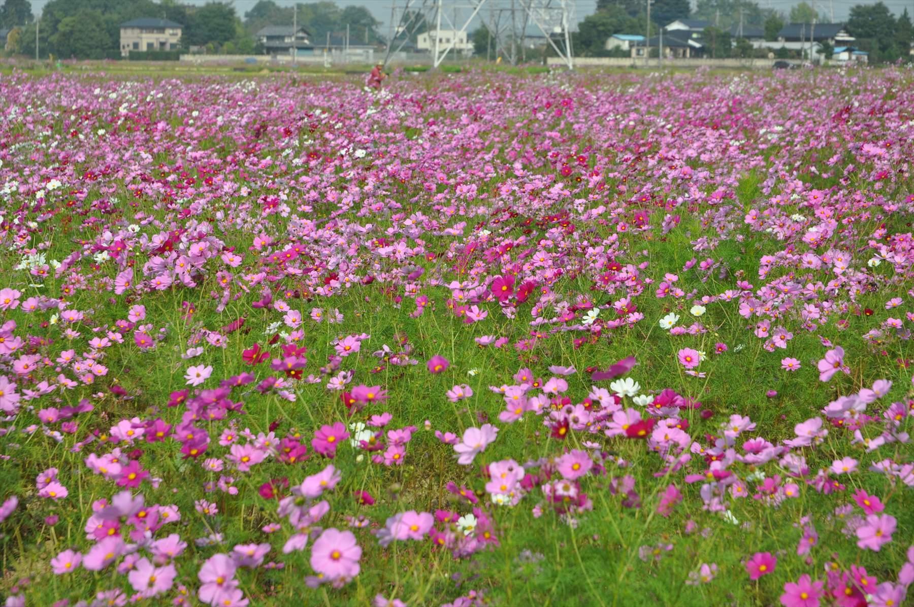 ・埼玉県吉見町のコスモスが見事でした | 霊園とお墓のはなし