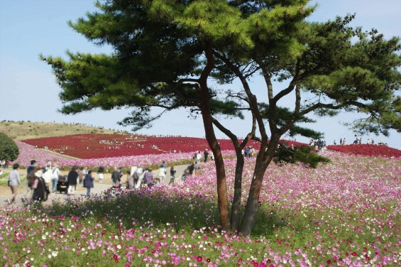 2015年10月22日 国営ひたち海浜公園 コキア ソバの花 コスモスDSC05917