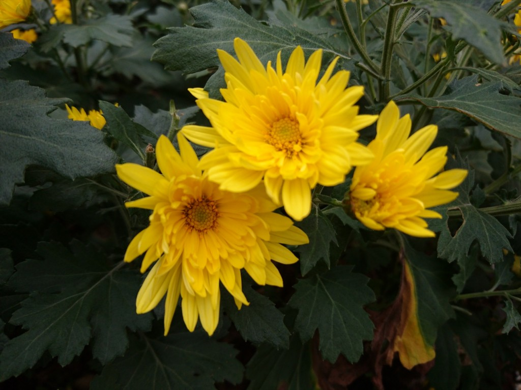 2015年11月28日 石材店の株式会社大塚の本社墓石展示場の花壇 菊の花 黄色DSC_0022