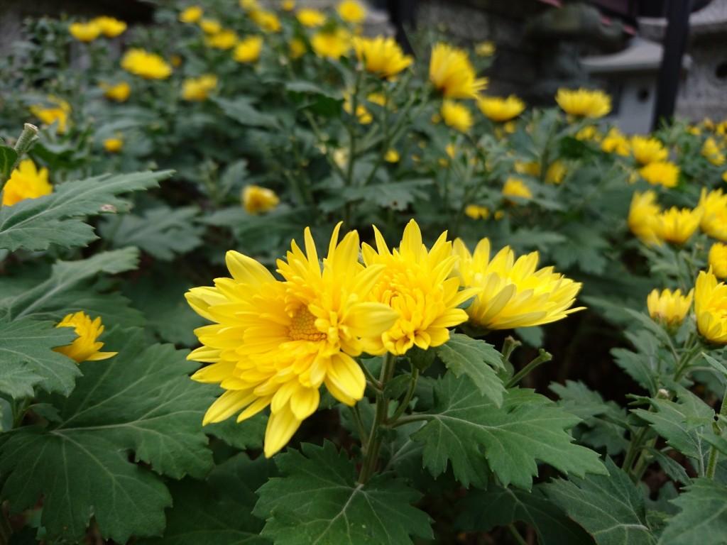 2015年11月28日 石材店の株式会社大塚の本社墓石展示場の花壇 菊の花 黄色DSC_0024