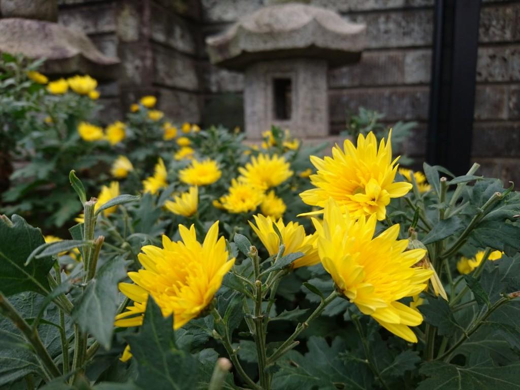 2015年11月28日 石材店の株式会社大塚の本社墓石展示場の花壇 菊の花 黄色DSC_0023