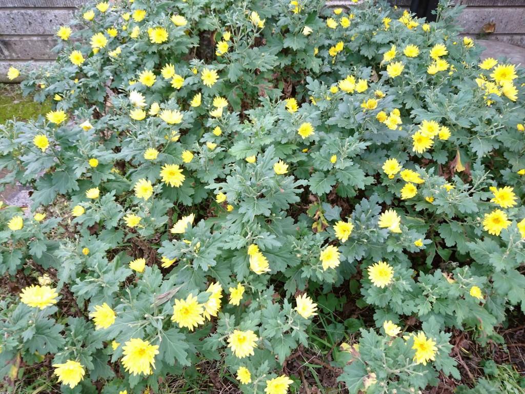 2015年11月28日 石材店の株式会社大塚の本社墓石展示場の花壇 菊の花 黄色DSC_0019