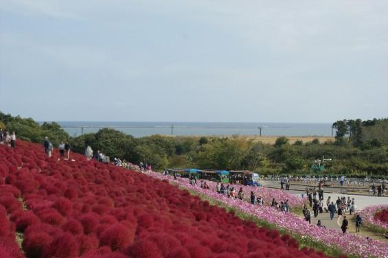 2015年10月22日 国営ひたち海浜公園 コキア ソバの花 コスモスDSC05928