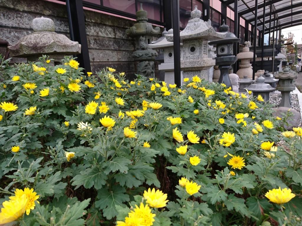 2015年11月28日 石材店の株式会社大塚の本社墓石展示場の花壇 菊の花 黄色DSC_0021