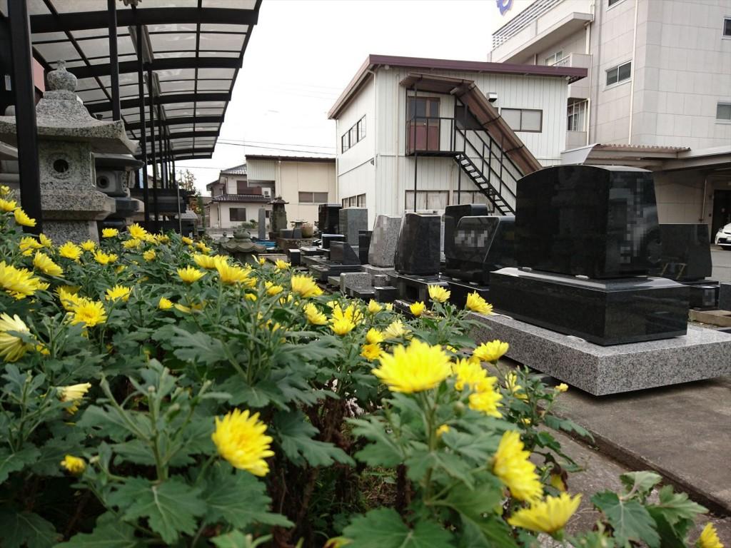 2015年11月28日 石材店の株式会社大塚の本社墓石展示場の花壇 菊の花 黄色DSC_0020
