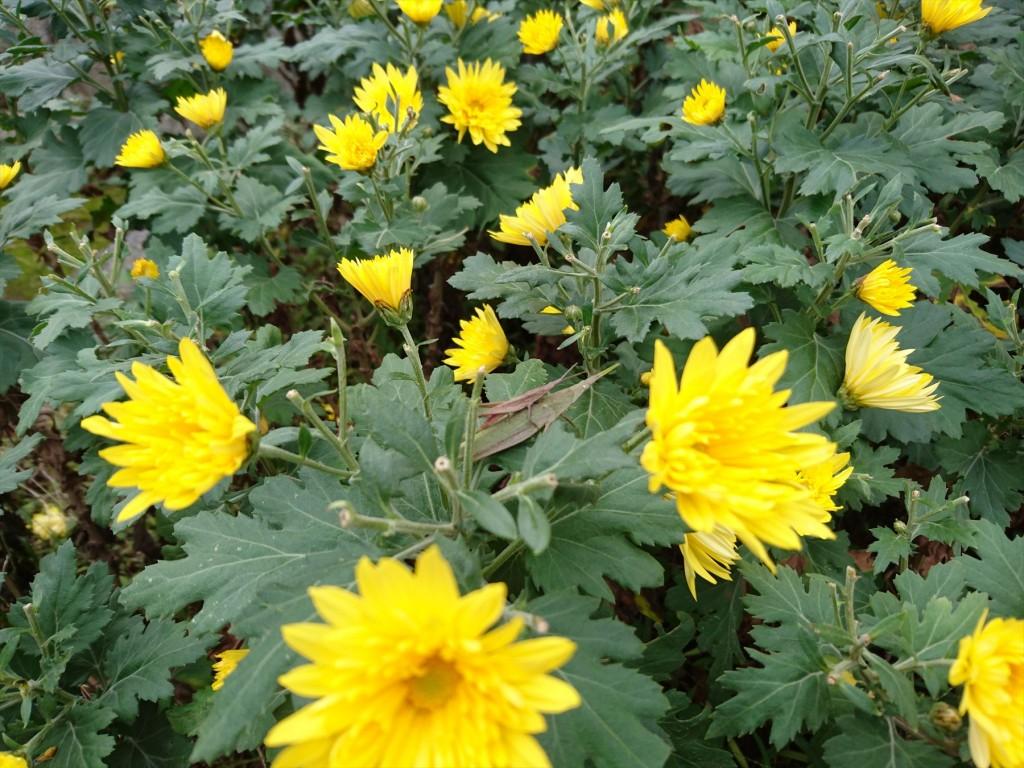 2015年11月28日 石材店の株式会社大塚の本社墓石展示場の花壇 菊の花 黄色DSC_0026