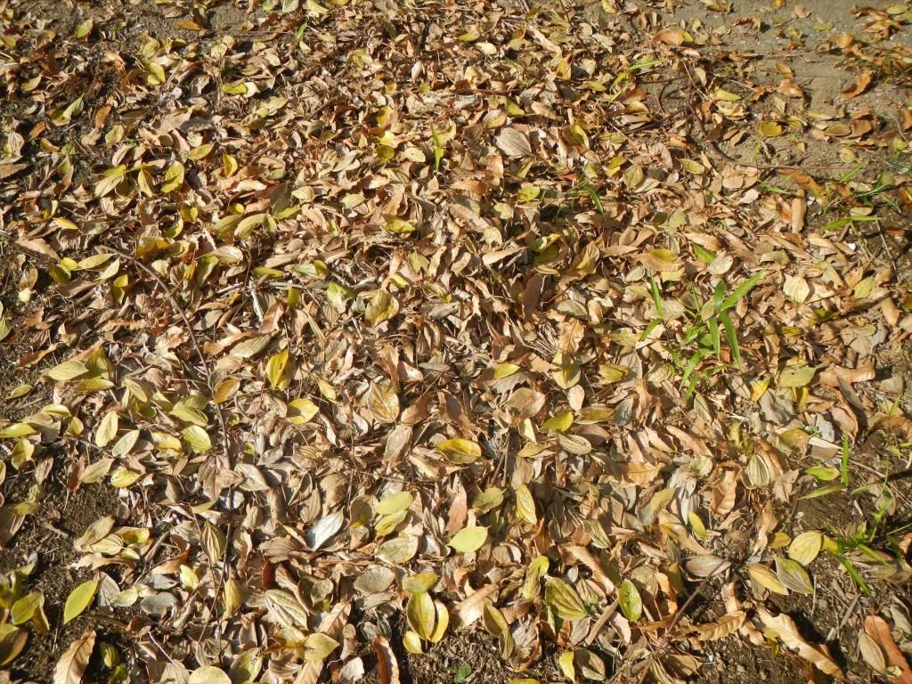 2015年12月 埼玉県の霊園 久喜聖地公苑の落ち葉DSCN7309