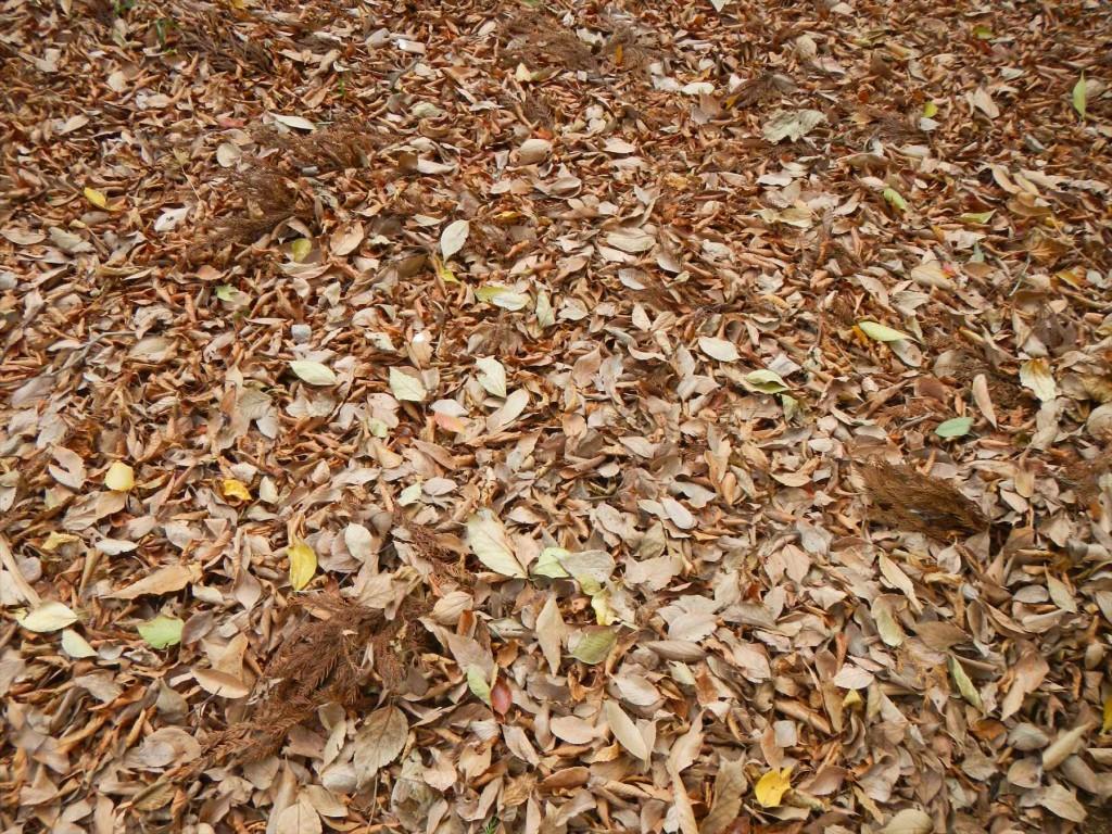 2015年12月 埼玉県の霊園 久喜聖地公苑の落ち葉DSCN7315