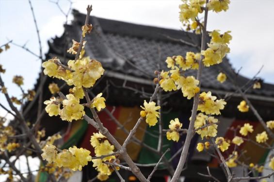 2016年2月8日 埼玉県上尾市の寺院 遍照院の蝋梅 ロウバイが綺麗でしたDSC_4966-