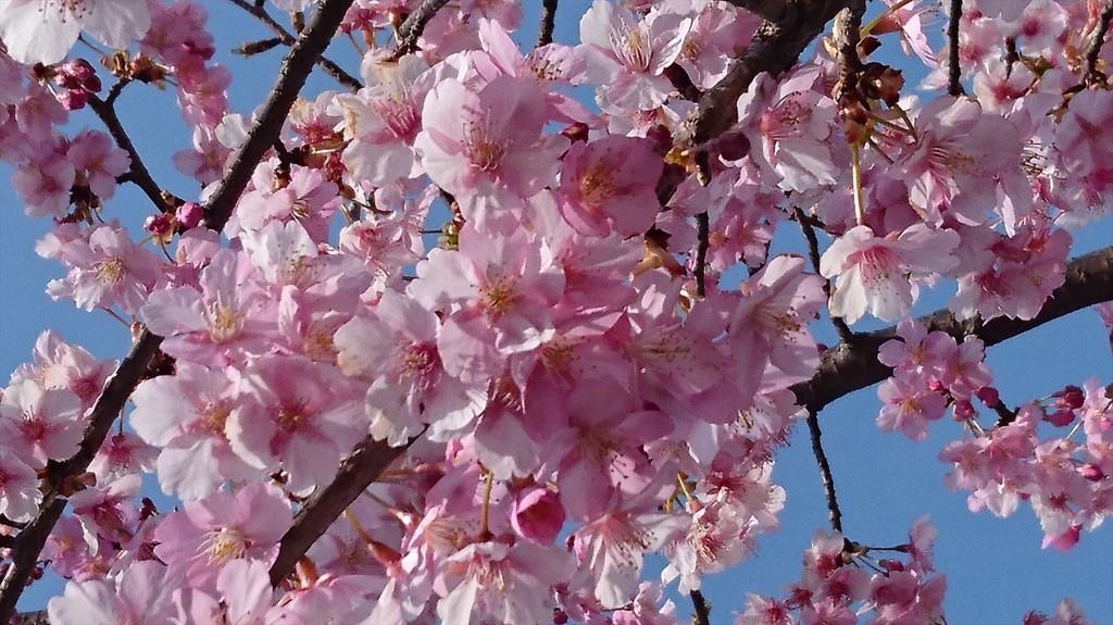 2016年3月 埼玉県上尾市瓦葺のお寺 楞厳寺の河津桜が綺麗でした。DSC_0279