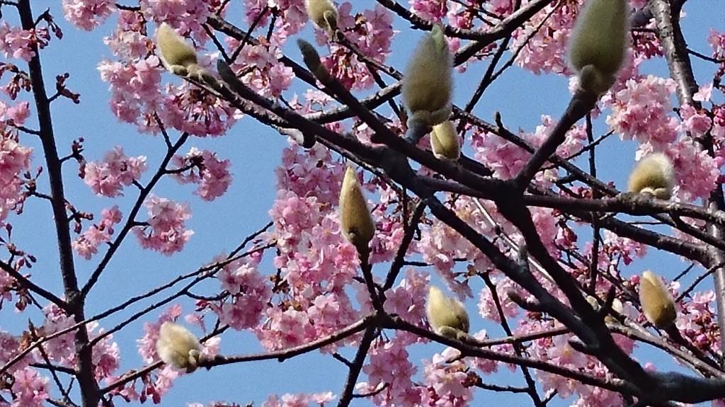2016年3月 埼玉県上尾市瓦葺のお寺 楞厳寺の河津桜が綺麗でした。モクレンも咲きはじめました。DSC_0287