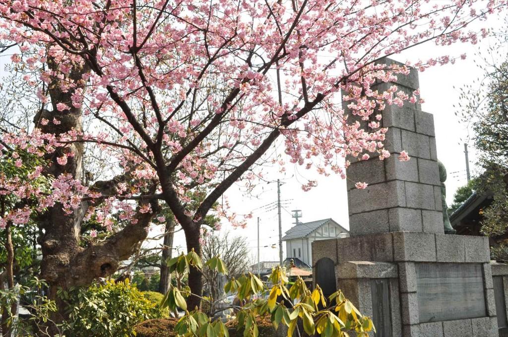 2016年3月 埼玉県上尾市瓦葺のお寺 楞厳寺の河津桜が綺麗でした。DSC_5434