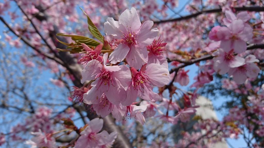 2016年3月 埼玉県上尾市瓦葺のお寺 楞厳寺の河津桜が綺麗でした。DSC_0281