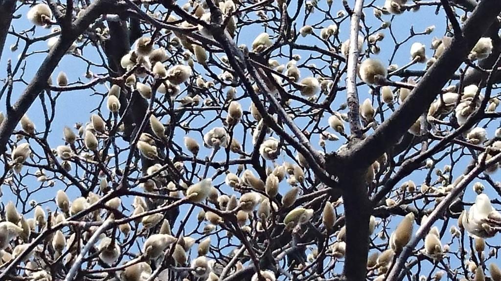 2016年3月 埼玉県上尾市瓦葺のお寺 楞厳寺の河津桜が綺麗でした。モクレンも咲きはじめました。DSC_0288