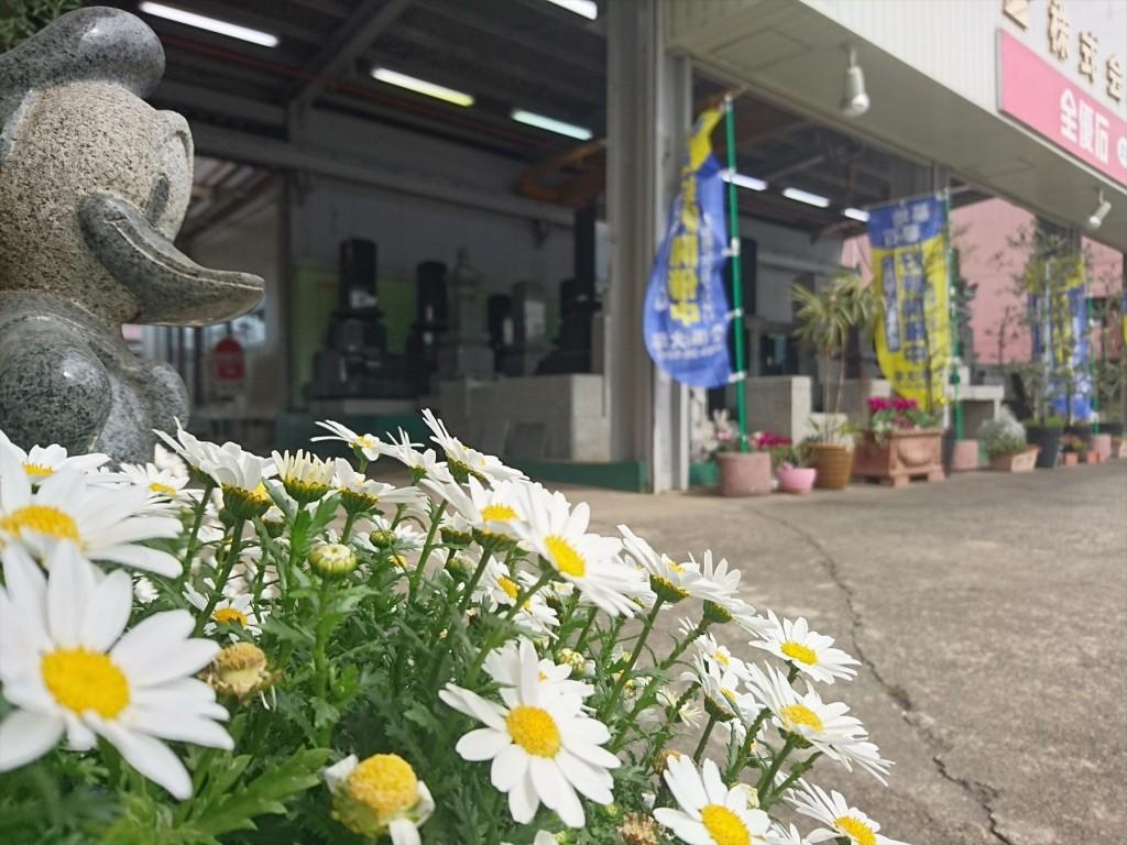 2016年3月 石材店の大塚 受付入口の鉢植えのお花がご来店をお待ちしています!スノーボールDSC_0567