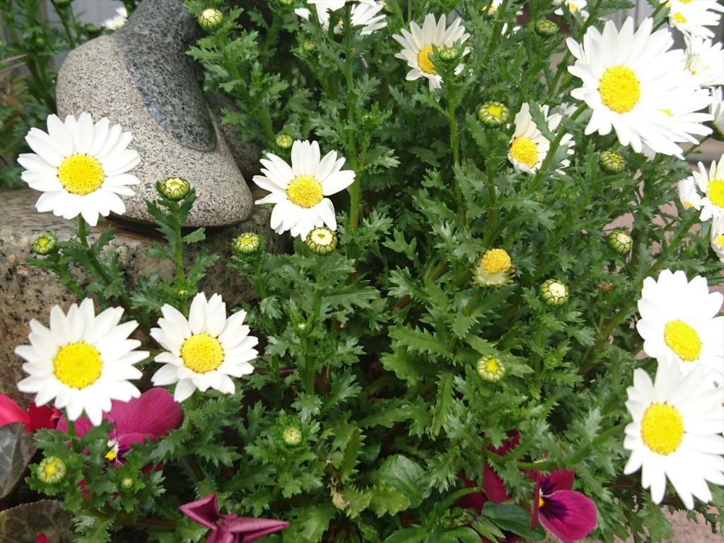 2016年3月 石材店の大塚 受付入口の鉢植えのお花がご来店をお待ちしています!スノーボールDSC_0561