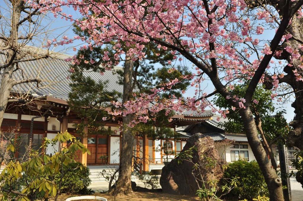 2016年3月 埼玉県上尾市瓦葺のお寺 楞厳寺の河津桜が綺麗でした。DSC_5437