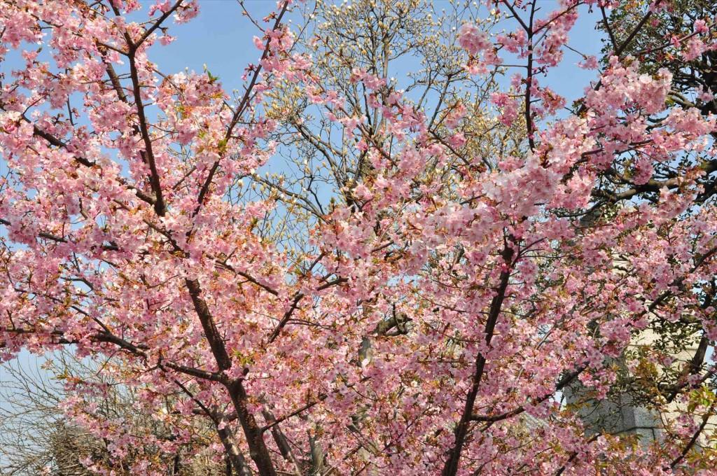 2016年3月 埼玉県上尾市瓦葺のお寺 楞厳寺の河津桜が綺麗でした。DSC_5438
