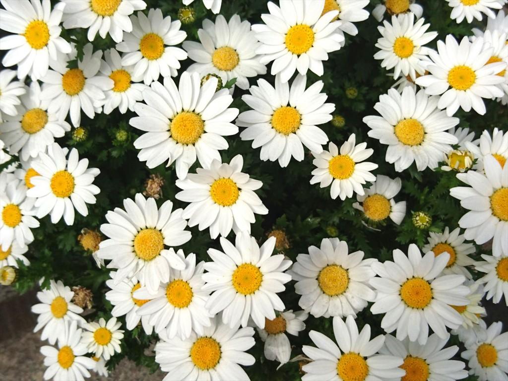 2016年3月 石材店の大塚 受付入口の鉢植えのお花がご来店をお待ちしています!スノーボールDSC_0560
