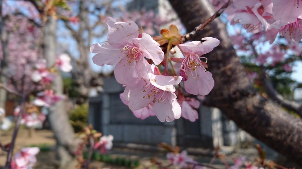 2016年3月 埼玉県上尾市瓦葺のお寺 楞厳寺の河津桜が綺麗でした。DSC_0280
