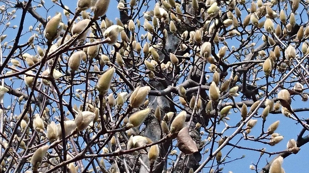 2016年3月 埼玉県上尾市瓦葺のお寺 楞厳寺の河津桜が綺麗でした。モクレンも咲きはじめました。DSC_0285