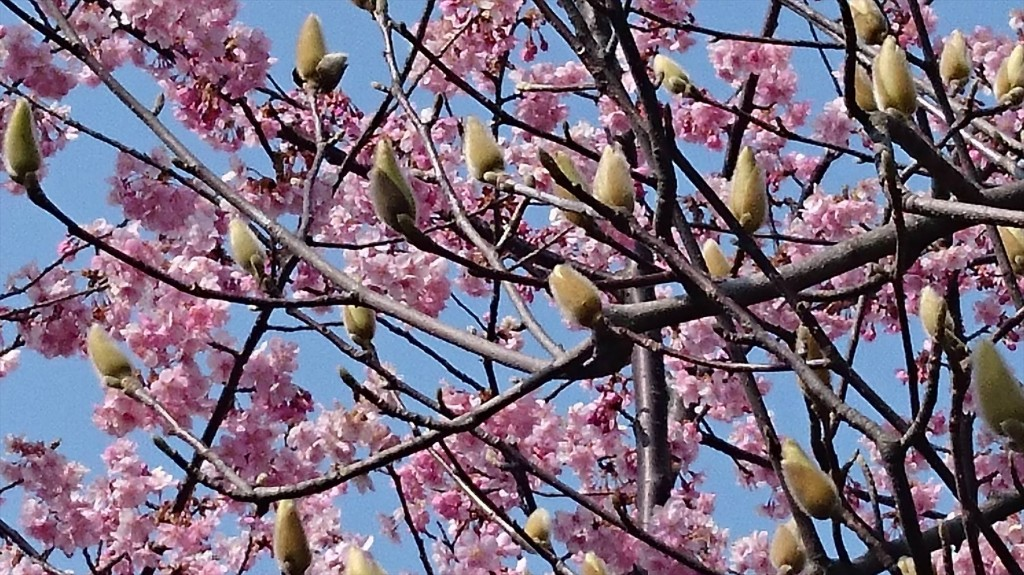 2016年3月 埼玉県上尾市瓦葺のお寺 楞厳寺の河津桜が綺麗でした。モクレンも咲きはじめました。DSC_0286