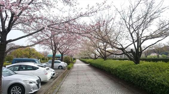 DSC_02202016年4月8日 さいたま市営思い出の里の桜と花 改葬