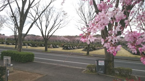 DSC_02282016年4月8日 さいたま市営思い出の里の桜と花 改葬