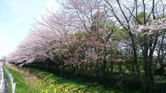 DSC_02192016年4月8日 桶川霊園の桜と花