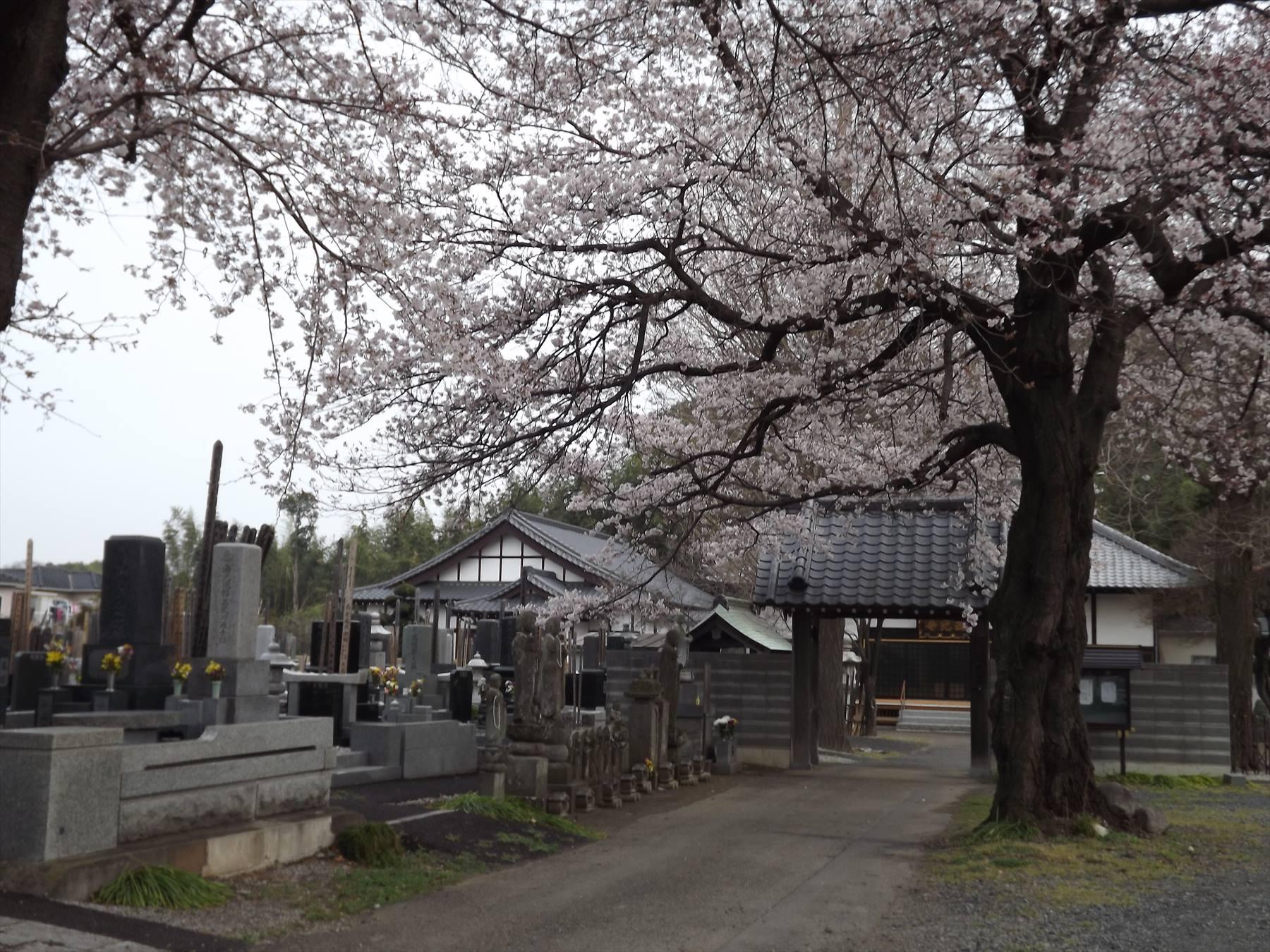 ・埼玉県伊奈町 西光寺の桜が満開です | 霊園とお墓のはなし