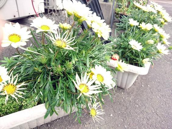 2016年5月 埼玉県の石材店 株式会社大塚の展示場に咲く花009 黄色い花