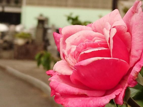 2016年5月 埼玉県の石材店 株式会社大塚の展示場に咲く花005 ピンクのバラ