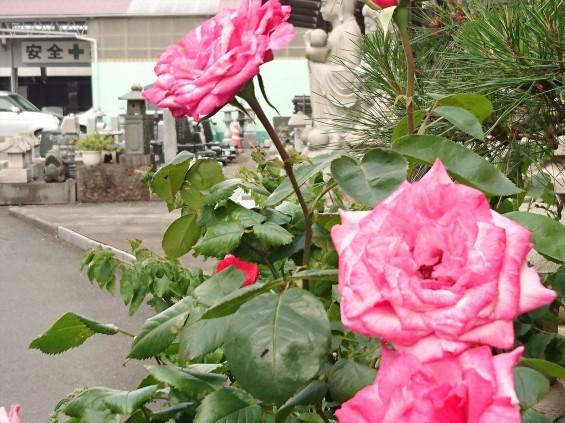 2016年5月 埼玉県の石材店 株式会社大塚の展示場に咲く花006 ピンクのバラ