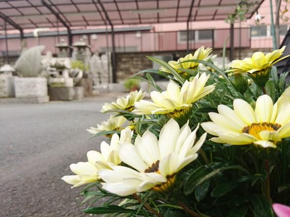 2016年5月 埼玉県の石材店 株式会社大塚の展示場に咲く花002 黄色い花