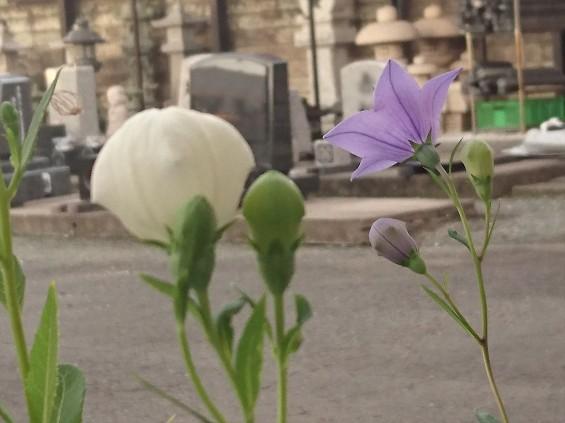 2016年6月 墓石展示場に咲く桔梗の花DSC_3101