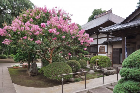 2016年7月20日 埼玉県上尾市の寺院、相頓寺のサルスベリが綺麗でしたDSC_8092